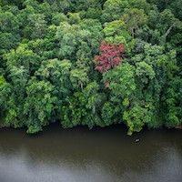 canopée amazonienne en bordure de fleuve