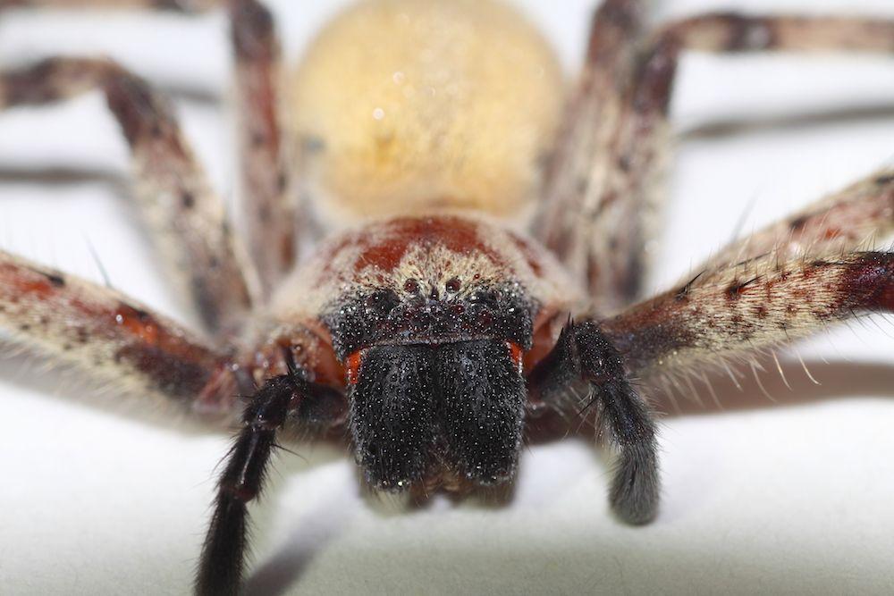 araignée olios sp